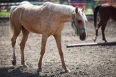 белая лошадь — Стоковое фото