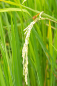 Dragonfly on the rice plant in thailand — Stock Photo