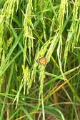 Motyl na roślina ryż w tajlandii — Zdjęcie stockowe