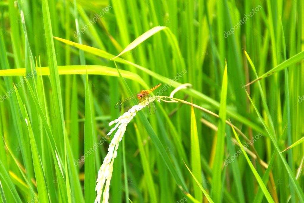 Dragonfly on the rice plant in rice field — Stock Photo #12161833