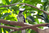 Copsychus saularis Bird in thailand — Stockfoto