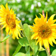 Two sunflower — Stock Photo