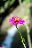 розовая цинния элеганс — Стоковое фото
