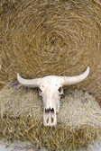 Buffalo skull on rice straw — Stock Photo