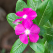 Vinca rosea Flower Catharanthus roseus Madagascar periwinkle — Stock Photo