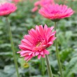 Pink Gerberas in garden — Stock Photo