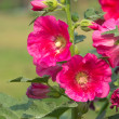 Pink hollyhock (Althaea rosea) blossoms — Stock Photo