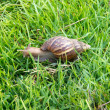 Snail in green grass — Stock Photo
