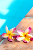 Tropical flower Plumeria on swimming pool — Stock Photo