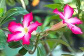 Desert rose flowers — Stock Photo
