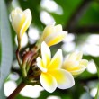 Frangipani flower — Stock Photo #26658725