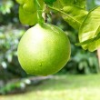 Pomelo fruit on the branch tree — 图库照片