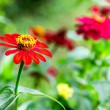 Zinnia elegans in the garden — Stock Photo