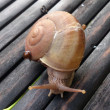 Snail on bamboo — Stock Photo