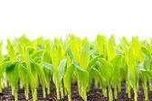 Corn seedling in plastic tray — Stock Photo