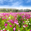 Stock Photo: Cosmos field