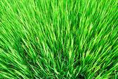 Green rice field — Stock Photo
