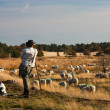 Shepherd overlooking his herd — Stock Photo