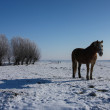 Horse in meadow in winter — Stock Photo