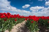 Red tulip field under blue sky — Stock Photo
