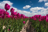 Purple tulip field under a blue sky — Stock Photo