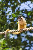 Macaco esquilo — Foto Stock