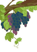 Grape. Vector illustration. — Stock Vector