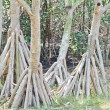 Root of mangrove, thailand — Stock Photo