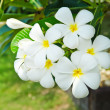 Plumeria flowers — Stock Photo