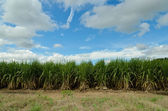 Sugar cane with blue sky — Stockfoto