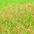 Flower grass — Stock Photo