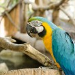 Blue and Gold macaw, Scientific name Ara ararauna parrot bird  — Stock Photo