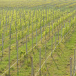 Vineyard cultivation — Stock Photo