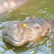 Stock Photo: Hippopotamus