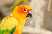 Sun Parakeet — Stock Photo