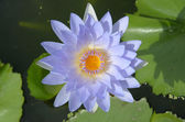 Beautiful water lilly or lotus on water — Stock Photo