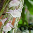 Stock Photo: Dendrobium orchid