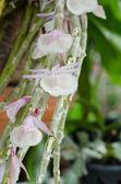 Dendrobium orkidé — Stockfoto