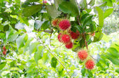 Rambutan trees. — Stock Photo