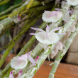 Stock Photo: Dendrobium orchid flower