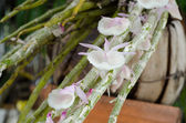 Dendrobium orchid flower — Photo