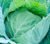 Cabbage — Stock Photo