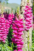 Antirrhinum majus dragon flower  — Stock Photo