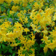Yellow Rhododendron Trees — 图库照片