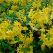 Yellow Rhododendron Trees — Stockfoto