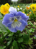 Blue and Yellow Pansy Flower — Stock Photo