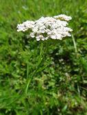 Blooming Common Yarrow (Achillea Millefolium) — Stock Photo