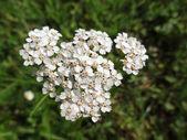 Common Yarrow (Achillea Millefolium) in bloom — Stock Photo