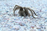 Tarantula #2 — Stock Photo