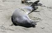 Elephant seal on the beach in San Simeon — Stock Photo